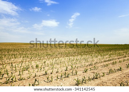 Agricultural field on which grow corn
