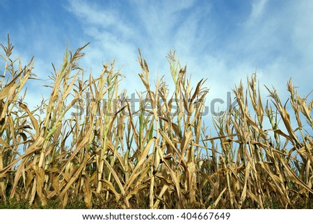 Agricultural field on which grow green immature corn, agriculture, sky