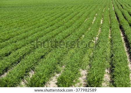 Agricultural field on which grow green young carrots, agriculture, farming