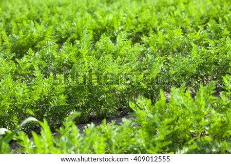 Agricultural field on which grow green young carrots. small depth of field - stock photo