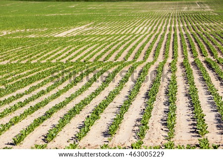 Agricultural field on which grow sugar beets. Spring. beetroot sprouts