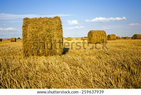 agricultural field on which grow up also the harvest  wheat