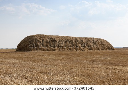 Agricultural field on which grow up cereals wheat, Belarus, ripe and yellowed cereals, small depth of field - stock photo