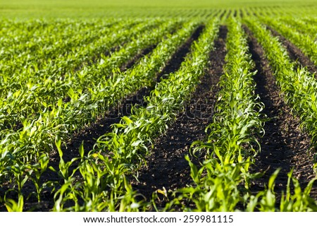 agricultural field on which there were young sprouts of corn