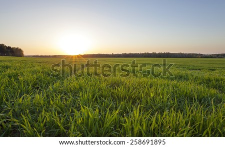 agricultural field on which young cereals grow. time - a sunset - stock photo