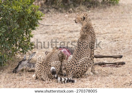 {air of cheetahs feasting on antelope kill, Masai Mara National Reserve, Kenya, East Africa - stock photo