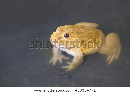 , also known as the Common Water Frog , sits on wood. Edible frogs are hybrids of pool frogs and marsh frogs. - stock photo