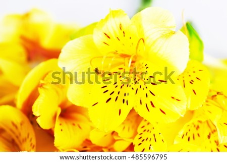 alstroemeria flower in vivid color