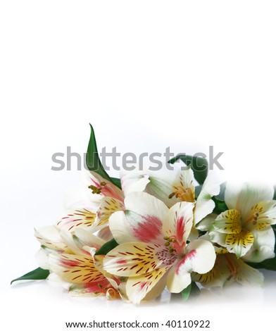Alstroemeria flowers - stock photo