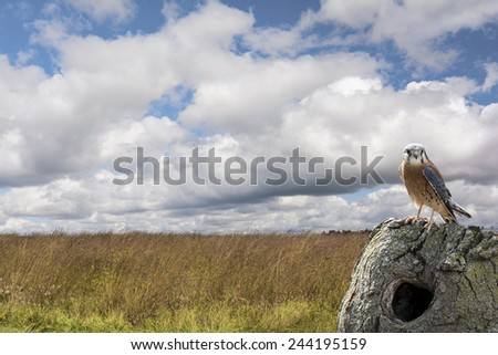 American Kestrel perched on a tree stump in a field with a beautiful partly cloudy sky. North America's littlest falcon, the American Kestrel packs a predator's fierce intensity into its small body.  - stock photo