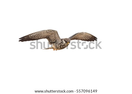 Amur Falcon on flying isolated on white background