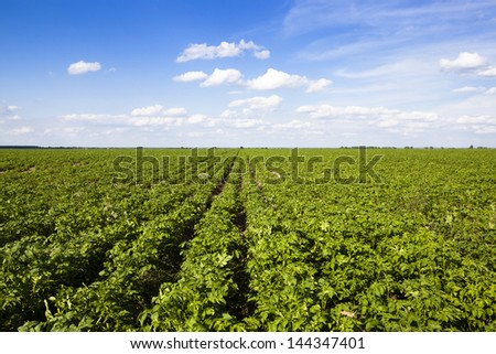 an agricultural field on which grow up potatoes - stock photo