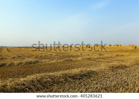 an agricultural field on which lie Straw Haystacks after harvest, blue sky - stock photo