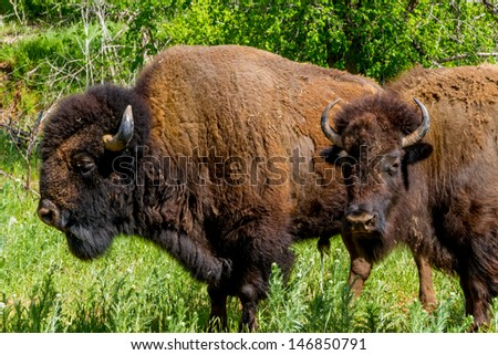An Iconic Wild Western Symbol - the American Bison (Bison bison), also Known as the American Buffalo, Living on the Range in Oklahoma. - stock photo