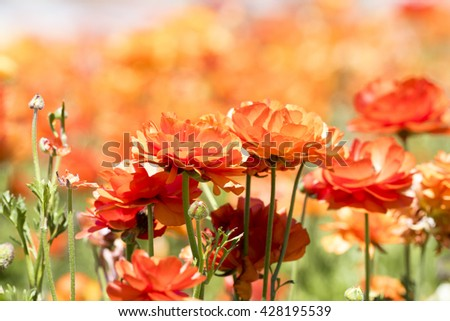 An orange buttercup flower framed against a vibrant background during a prime springtime day. - stock photo
