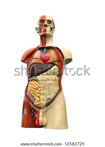 Anatomical opinion object of a male Torso - stock photo