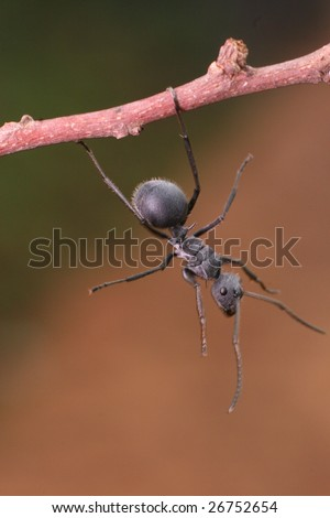 'Ant hanging from a branch' - stock photo