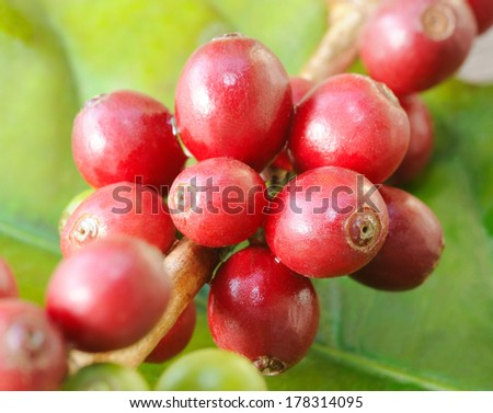 arabica - coffee beans on trees - stock photo