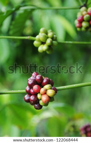 Arabica - Coffee - Coffee tree with ripe - Coffee beans on trees