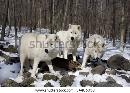 3 Arctic Wolves standing in the snow - stock photo