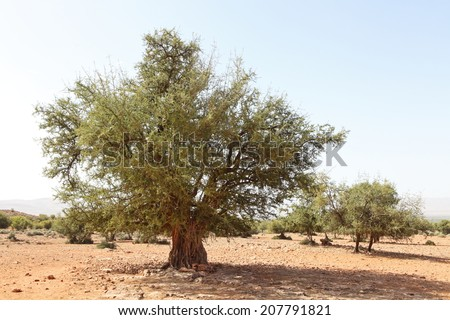 Argan tree (Argania spinosa)  - stock photo