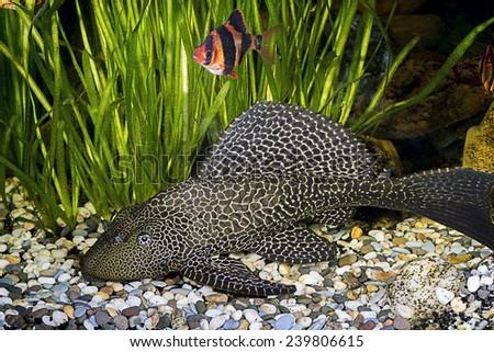 Armored catfish - Ancistrus ordinary (Ancistrus multispinis) in the home aquarium - stock photo