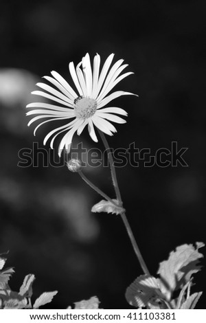 Arnica montana balck and white - stock photo