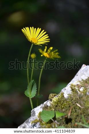 Arnica montana in the stone - stock photo