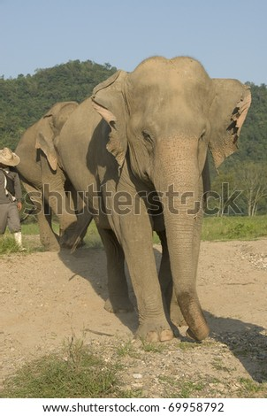 3 Asian elephants following each other with their Chang (rider) - stock photo