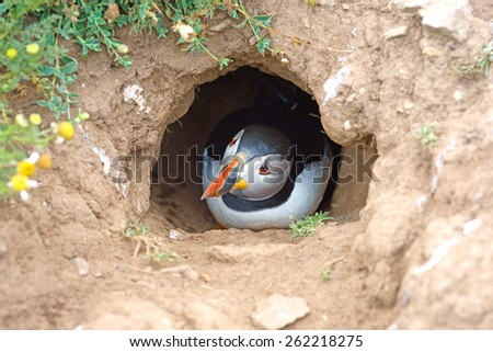 Atlantic Puffin (Fratercula arctica) just about to emerge from its nesting burrow, Skomer Island, West Wales, Pembrokeshire, United Kingdom                           - stock photo