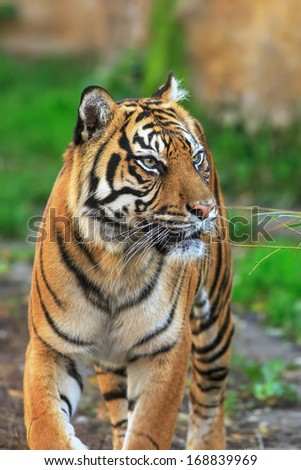 attention tiger - stock photo