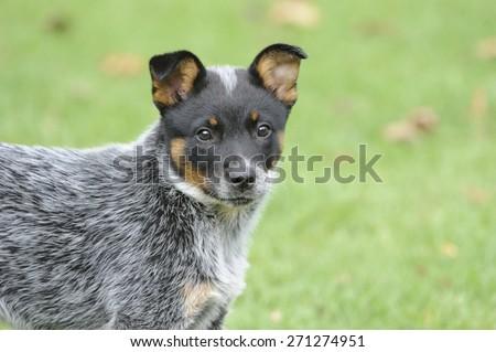 Australian Cattle Dog. Pedigree Puppy aged 10 weeks. aka Blue Heelers.  - stock photo