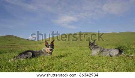 AUSTRALIAN CATTLE DOGS, male and female ;   A cross between dingo, Smithfield herder  & Timmin's biter, ACD's, aka Blue Heelers are a hardy and intelligent breed - stock photo