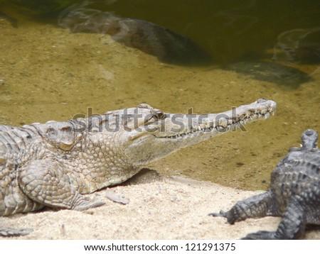 australian freshwater crocodile on the sand beach in Australia - stock photo