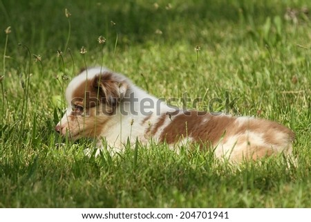 Australian Puppy resting on the grass - stock photo