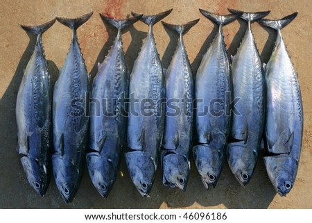 Auxis thazard fish in a row frigate tuna sport fishing catch - stock photo