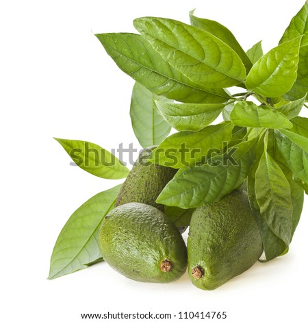 Avocado fruits with young leaves from Avocado tree, isolated on white - stock photo