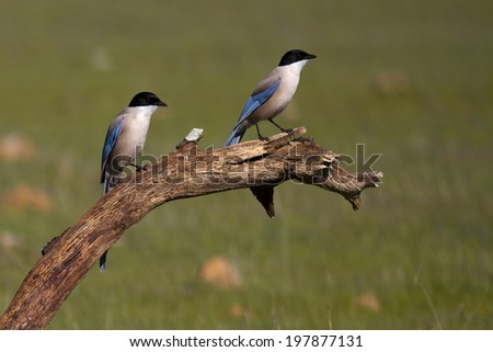 Azure-winged Magpie Cyanopica cyanus - stock photo