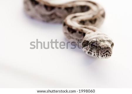 Baby Boa Constrictor snake. Close-up - stock photo