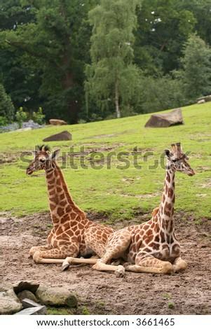 2 baby-giraffes - stock photo