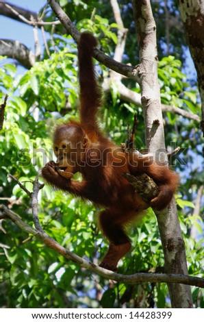 baby orangutan in the wild - stock photo