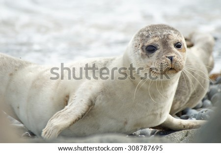 Baby seal                             - stock photo