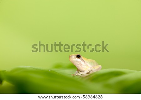 Baby Tree frog on the leaf (Hyla chinensis) - stock photo