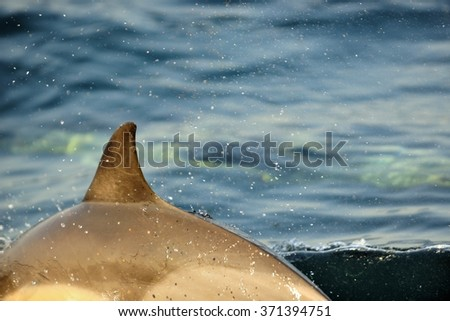 Back fin of a dolphin, swimming in the ocean  and hunting for fish. The jumping dolphin comes up from water. The Long-beaked common dolphin (Delphinus capensis) swim in atlantic ocean - stock photo
