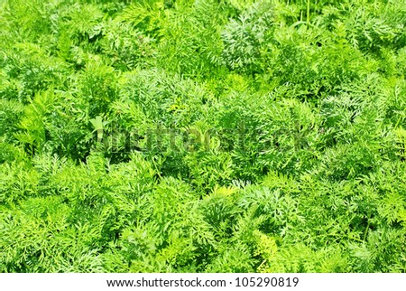 background of green carrot leaves - stock photo