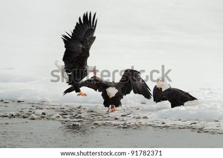 Bald eagles (Haliaeetus leucocephalus) fighting for food - stock photo