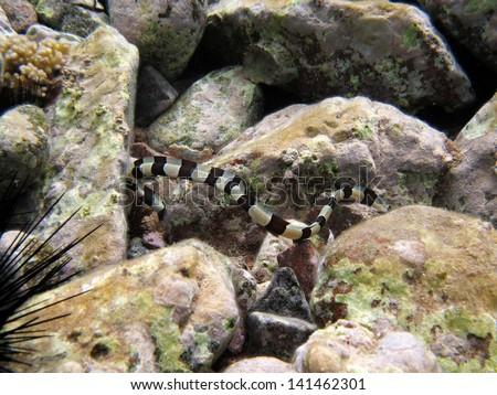 Banded snake eel - stock photo