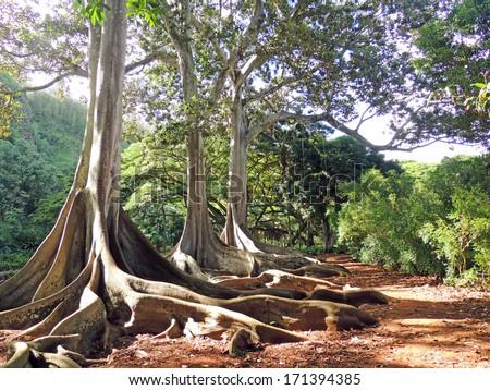 Banyan trees in the allerton gardens   in kauai , Hawaii  - stock photo