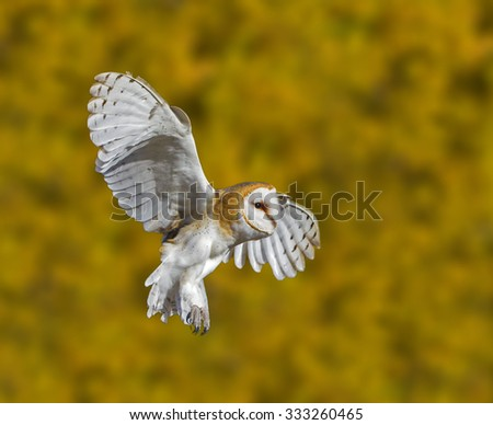 """""""Barn Owl Braking"""" - A barn owl with wings fully extended prepares for a landing during a beautiful autumn fall foliage morning. - stock photo"""