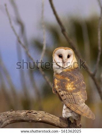 """Barn Owl"" Image captured at the Arizona-Sonora Desert Museum and Raptor Center in West Tucson. - stock photo"